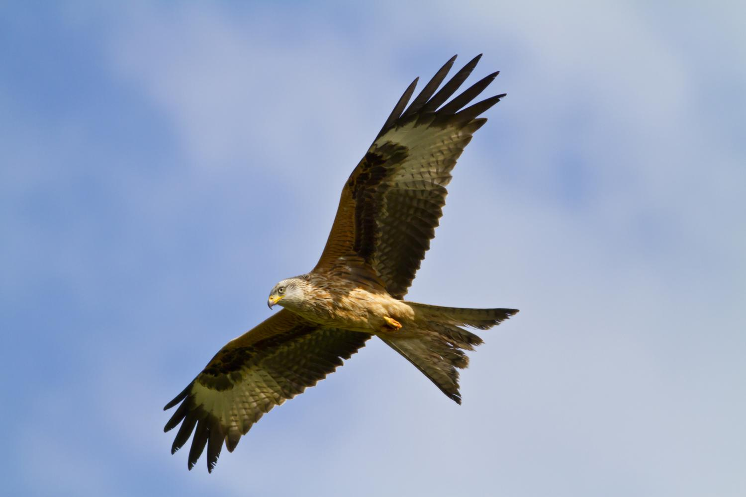 Red Kite at Riverside Cottages